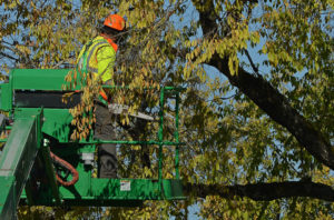 chandler pine tree services